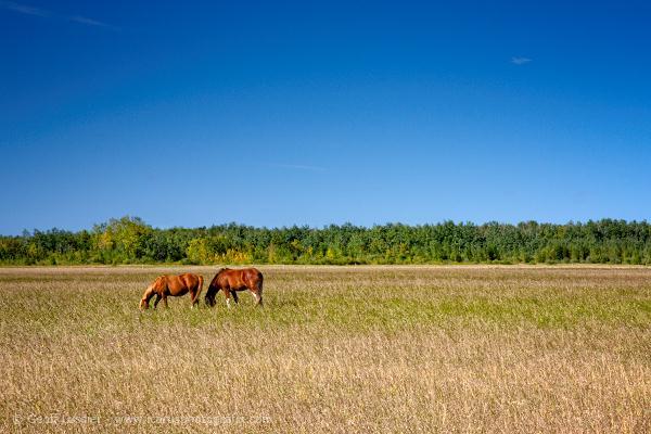 Horse in Prairie Field, Beausejour, Manitoba