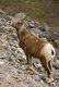 Mountain Sheep - Mother and Young