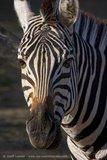Zebra - zoo - captive