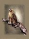 Red-Tailed Hawk Painting