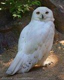 Snowy Owl - captive