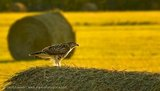 Peregrine Falcon on Hay Bale