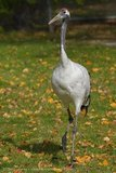 Red Crested Crane - zoo - captive