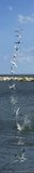 Diving Tern Pano, Gimli