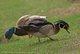 Wood Duck and Mallard